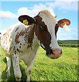 SS7505 : Mid Devon : Grassy Field & Cattle : Week 24