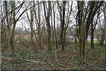 SX5062 : Woodland by A386 by N Chadwick