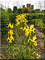 SK4663 : Yellow flag irises at Hardwick Hall by Graham Hogg