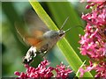 SW6031 : Hummingbird hawk-moth by Robin Drayton
