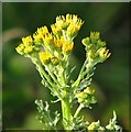 TG3203 : Ragwort  (Jacobaea vulgaris) - flowers by Evelyn Simak