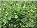 TG1903 : White bryony (Bryonia dioica) by Evelyn Simak