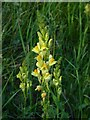 TQ1450 : Wildflowers of chalk downland: toadflax (4) : Week 27