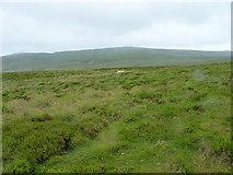 SH9221 : Sheep on Blaen Hirddu-Fawr by Richard Law