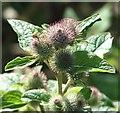 TG3203 : Greater burdock (Arctium lappa) - flower buds by Evelyn Simak