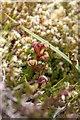 HP6110 : Frog Orchid (Coeloglossum viride), Crussa Field by Mike Pennington