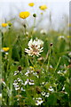 HP6516 : White Clover (Trifolium repens), Skaw, Unst by Mike Pennington