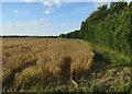 TL4765 : Barley field by the Roman Road by Hugh Venables