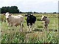 TM4199 : Bullocks in the Norton Marshes by Evelyn Simak