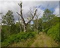 NH4160 : Track through woodland, by Loch Garve by Craig Wallace