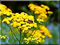 SE7415 : Bee on Common Tansy : Week 30