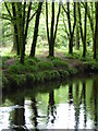 SX0872 : Beech trees beside the River Camel at Heligan Wood by Rod Allday