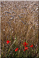 TQ4363 : Poppies and wheat, north of the London Loop by Christopher Hilton