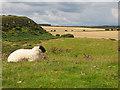 NU2521 : Sheep near Dunstanburgh Castle  by Stephen Craven