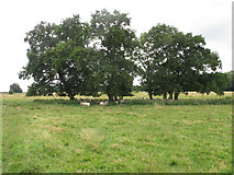 SP7202 : Sheep under trees in New Park, Thame by David Hawgood