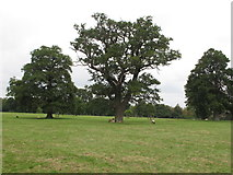 SP7104 : Trees and sheep in Thame Park by David Hawgood
