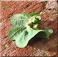TG3203 : Galls on oak leaf by Evelyn Simak