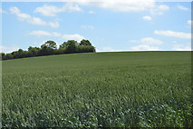 TL5135 : Wheat, Mill Hill by N Chadwick