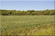 TL5334 : Oilseed rape and Waterlane Plantation by N Chadwick