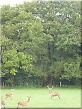 SX5597 : Deer by the Youlden Plantations by David Smith
