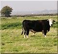 TG4200 : Bullock in marsh pasture by Evelyn Simak