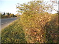SP9949 : Bush by the A422, Stagsden by David Howard