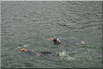 TQ4180 : Openwater swimmers, Victoria Dock by N Chadwick
