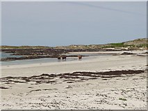 NR3587 : Cows on the Beach by Martin