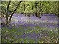 SU7861 : Bluebells in Lower Eversley Copse by Paul Herber