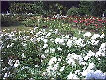 TQ2668 : The Rose Garden, Morden Hall Park. by Noel Foster