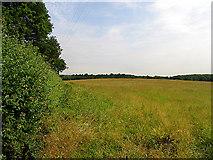 SU5469 : Fallow Field near Bucklebury by Pam Brophy