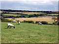 SW7649 : Sheep grazing near Callestick Vean by Sheila Russell