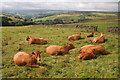 SE0428 : Cattle near Wainstalls by Mark Anderson