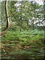 SU9587 : Egypt Woods, near Farnham Common by David Hawgood