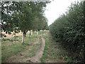SJ4366 : Tree Lined Footpath by Dennis Turner