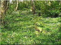 ST1482 : Bluebell Woods by gj