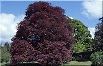 M4304 : The Autograph Tree (a purple-leaved beech) in the walled garden at Coole Park, Co. Galway. by Dr Charles Nelson
