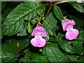 SD8007 : Himalayan Balsam by Keith Williamson