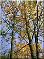 TL1695 : Autumn trees, Orton Pits by Katie