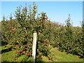 TQ6841 : Apple Orchard by N Chadwick