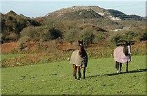 SW9554 : Horses near Carloggas by Tony Atkin