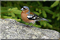 NO0350 : Chaffinch at Loch Ordie by Ian Cleland