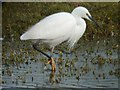 SX9787 : Little Egret, Bowling Green Marsh by Grant Sherman