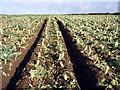 SW3725 : Cauliflower field by Sheila Russell