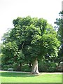 Dist:0.1km<br/>This is one of the many beautiful trees in Cheam park