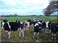 SJ4354 : Dairy cows and bull at Marsh House Farm, Kings Marsh by Mike Harris