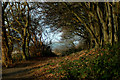 TF6633 : Avenue of Beeches, Edge of Ken Hill Woods. by Dr W E Lee