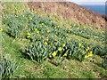 SW4423 : Daffodils near Dorminack by Sheila Russell