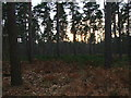SU8966 : Pines in Swinley Park by Andrew Smith