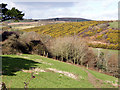 SW5034 : Gorse blooming near Boskennal Mill by Sheila Russell